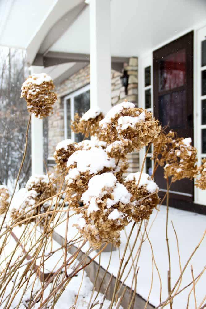 Hydrangeas in the Winter Picture