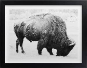 Minted Buffalo Print